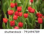 tulips in the winter of... | Shutterstock . vector #791494789