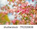 blooming apple tree. springtime....   Shutterstock . vector #791520838