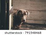 Labrador Retriever Looking Lik...