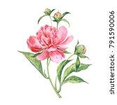 watercolor sketch of a peony... | Shutterstock . vector #791590006