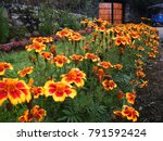 Stock photo beautiful marigold flowers in the garden herbaceous plants in the sunflower family 791592424