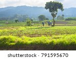 fields of cultivation in rural... | Shutterstock . vector #791595670