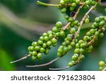 coffee cherries on branch with...   Shutterstock . vector #791623804