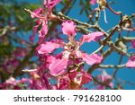 ceiba speciosa  chorisia... | Shutterstock . vector #791628100