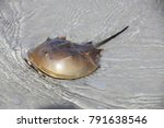 Horseshoe Crab In A Shallow...