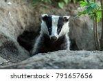 Badger  Wild  Native  European...