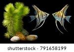 angelfish  pterophyllum scalare ... | Shutterstock . vector #791658199