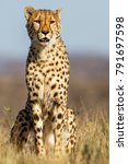 Male Cheetah Sitting In The...