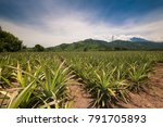 pineapple field in guatemala... | Shutterstock . vector #791705893