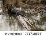 Small photo of 4-5 ft American alligator (alligatoridae mississippiensis) resting on a log in the swamps of Louisiana.