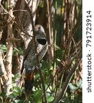 Northern Flicker  Red Shafted ...
