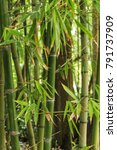 Forest Of Bamboo Canes In The...