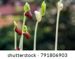 sprouting beans in natural... | Shutterstock . vector #791806903