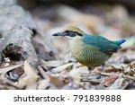 beautiful bird adult female bar ... | Shutterstock . vector #791839888