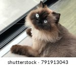 Cute Himalayan Cat Siting Next...