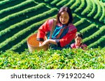 young asian lady picking tea... | Shutterstock . vector #791920240