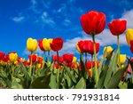 spring blooming tulip field.... | Shutterstock . vector #791931814