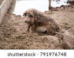 asf. african swine fever. in... | Shutterstock . vector #791976748