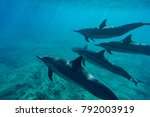 spinner dolphins in hawaii | Shutterstock . vector #792003919