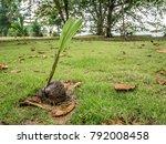Coconut Fallen On Ground Is...
