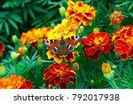 european peacock  aglais io ... | Shutterstock . vector #792017938