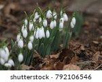 snowdrops field. galanthus... | Shutterstock . vector #792106546