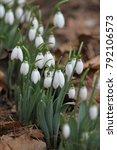 snowdrops field. galanthus... | Shutterstock . vector #792106573