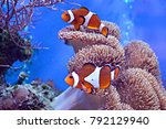 clownfish  amphiprioninae  in... | Shutterstock . vector #792129940