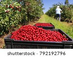 picking cherries in the orchard | Shutterstock . vector #792192796