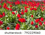 many tulips in the field | Shutterstock . vector #792229060