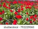 many tulips in the field | Shutterstock . vector #792229060