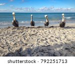 Pelicans on a cuban beach