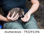 baby kiwi bird being nursed in... | Shutterstock . vector #792291196