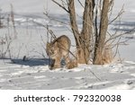 canadian lynx  lynx canadensis  ...   Shutterstock . vector #792320038