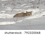 canadian lynx  lynx canadensis  ...   Shutterstock . vector #792320068