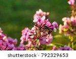 the flower of a pink phlox... | Shutterstock . vector #792329653