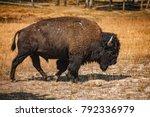 Bison Bull  Yellowstone...