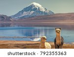 alpaca's  vicugna pacos ... | Shutterstock . vector #792355363
