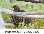 a sooty grouse hiding in some...   Shutterstock . vector #792378529