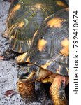 Small photo of Pair of Radiated Tortoises, Palmarium Reserve, Madagascar