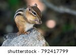 Cute Chipmunk Stuffing His Face