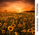 Sunflower Field Sunset Background - Fine Art prints