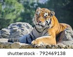 the amur or ussuri tiger  or...   Shutterstock . vector #792469138