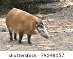 Red River Hog  African Wild Life
