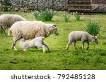 sheep in an orchard with a lamb ... | Shutterstock . vector #792485128