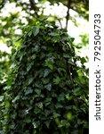 perennial green ivy | Shutterstock . vector #792504733
