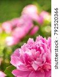 pink peonie bush with big... | Shutterstock . vector #792520366