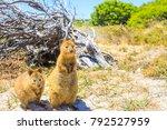 two quokka outdoors in rottnest ... | Shutterstock . vector #792527959