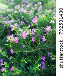 Small photo of alse heather or Elfin herb flowers (Cuphea hyssopifola H.B.K.)