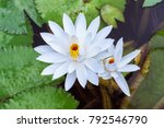 aquatic plant lotus | Shutterstock . vector #792546790